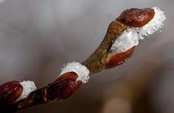 Άνοιξη ιτιών λουλουδιών (Salix) Στοκ φωτογραφία με δικαίωμα ελεύθερης χρήσης