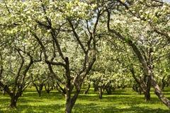 άνοιξη κήπων ανθών μήλων Στοκ Εικόνες