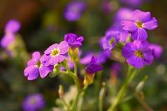 άνοιξη κήπων λουλουδιών Πορφυρά λουλούδια φλογών του paniculata Phlox phlox Στοκ εικόνα με δικαίωμα ελεύθερης χρήσης