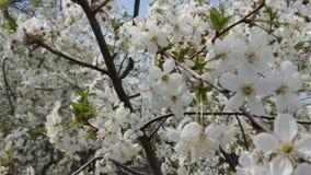 Άνοιξη, κεράσι λουλουδιών, κήπος στοκ φωτογραφίες