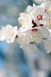 άνοιξη λουλουδιών βερίκ& Στοκ φωτογραφίες με δικαίωμα ελεύθερης χρήσης