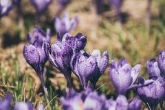 άνοιξη λουλουδιών κρόκω&n Στοκ Φωτογραφία