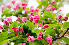 άνοιξη λουλουδιών οφθα& Στοκ Εικόνα