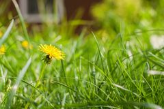 Άνοιξη, Μάιος Ένα λουλούδι πικραλίδων στη χλόη Στοκ Εικόνες