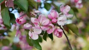 Άνοιξη, μια ηλιόλουστη ημέρα, ένας κήπος άνθησης Άσπρος-ρόδινα λουλούδια σε ένα δέντρο μηλιάς κατά την διάρκεια του ανθίσματος Στοκ Εικόνες