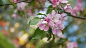 Άνοιξη, μια ηλιόλουστη ημέρα, ένας κήπος άνθησης Άσπρος-ρόδινα λουλούδια σε ένα δέντρο μηλιάς κατά την διάρκεια του ανθίσματος Στοκ εικόνες με δικαίωμα ελεύθερης χρήσης