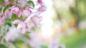 Άνοιξη, μια ηλιόλουστη ημέρα, ένας κήπος άνθησης Άσπρος-ρόδινα λουλούδια σε ένα δέντρο μηλιάς κατά την διάρκεια του ανθίσματος Στοκ Φωτογραφία