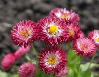 άνοιξη λουλουδιών μαργαριτών Στοκ εικόνα με δικαίωμα ελεύθερης χρήσης