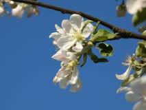 Άνοιξη λουλουδιών της Apple Στοκ εικόνα με δικαίωμα ελεύθερης χρήσης