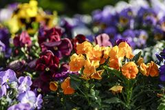 Άνοιξη: πορτοκαλιά primroses στην εκλεκτική εστίαση στη μέση μιας ομάδας μικτών χρωματισμένων λουλουδιών στο bokeh στοκ εικόνες με δικαίωμα ελεύθερης χρήσης