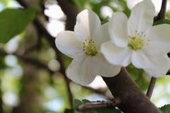 Άνοιξη που ανθίζει τη Apple με ελεύθερο με τη μεγάλη άσπρη κινηματογράφηση σε πρώτο πλάνο λουλουδιών στο θολωμένο υπόβαθρο κήπων Στοκ Φωτογραφία