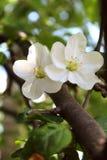 Άνοιξη που ανθίζει τη Apple με ελεύθερο με τη μεγάλη άσπρη κινηματογράφηση σε πρώτο πλάνο λουλουδιών στο θολωμένο υπόβαθρο κήπων Στοκ Εικόνες