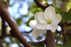 Άνοιξη που ανθίζει τη Apple με ελεύθερο με τη μεγάλη άσπρη κινηματογράφηση σε πρώτο πλάνο λουλουδιών στο θολωμένο υπόβαθρο κήπων Στοκ φωτογραφίες με δικαίωμα ελεύθερης χρήσης