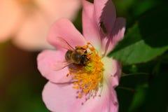 Άνοιξη ρόδινη (αυξήθηκε) λουλούδι και μέλισσα Μέλισσα σε ένα λουλούδι Στοκ Φωτογραφίες