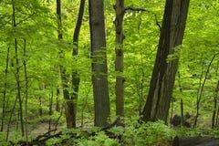 Άνοιξη σε ένα midwest δάσος στοκ φωτογραφία