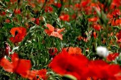 Άνοιξη στη νότια Γαλλία φλεγόμενη με τις κόκκινες παπαρούνες Στοκ Εικόνα