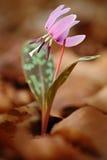 Άνοιξη στη φύση Ρόδινο άγριο λουλούδι, βιολέτα δοντιών σκυλιών ` s ή βιολέτα Dogtooth, κρησφύγετο-canis Erythronium, ρόδινη άνθισ Στοκ Εικόνες