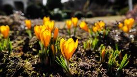 Άνοιξη στον κήπο μου Οι πρώτοι κίτρινοι κρόκοι μια ηλιόλουστη ημέρα στοκ φωτογραφία με δικαίωμα ελεύθερης χρήσης