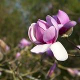 Άνοιξη στο Λονδίνο Magnolia ` Leonard Messel `, ρόδινοι λουλούδι και οφθαλμός που ανοίγουν στο δέντρο Στοκ Εικόνα