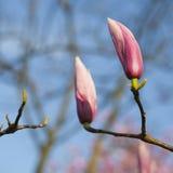 Άνοιξη στο Λονδίνο Magnolia ` Leonard Messel `, ρόδινοι λουλούδι και οφθαλμός που ανοίγουν στο δέντρο Στοκ φωτογραφία με δικαίωμα ελεύθερης χρήσης