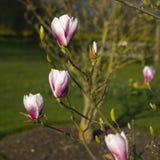 Άνοιξη στο Λονδίνο Magnolia ` Leonard Messel `, ρόδινοι λουλούδι και οφθαλμός που ανοίγουν στο δέντρο Στοκ Εικόνες