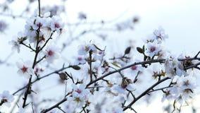 Άνοιξη Το ανθίζοντας δέντρο με τις μέλισσες Velez Μάλαγα, Ισπανία φιλμ μικρού μήκους