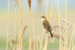 Άνοιξη τραγουδιού πουλιών Στοκ εικόνα με δικαίωμα ελεύθερης χρήσης