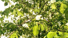 άνοιξη φωτογραφιών κήπων ανθών μήλων απόθεμα βίντεο