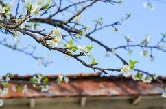 άνοιξη φωτογραφιών κήπων ανθών μήλων Στοκ Φωτογραφίες