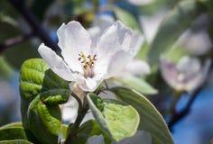 άνοιξη φωτογραφιών κήπων ανθών μήλων στοκ εικόνα