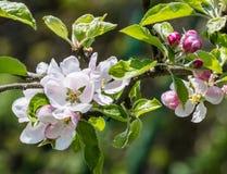 άνοιξη φωτογραφιών κήπων ανθών μήλων Στοκ φωτογραφίες με δικαίωμα ελεύθερης χρήσης