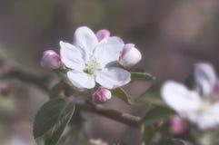 άνοιξη φωτογραφιών κήπων ανθών μήλων Στοκ φωτογραφία με δικαίωμα ελεύθερης χρήσης