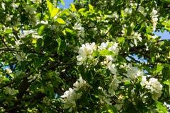 άνοιξη φωτογραφιών κήπων ανθών μήλων Στοκ Φωτογραφία