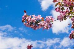άνοιξη φωτογραφιών κήπων ανθών μήλων Στοκ εικόνα με δικαίωμα ελεύθερης χρήσης