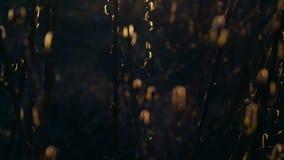 άνοιξη φύσης σύνθεσης οφθαλμών ιτιές στο ηλιοβασίλεμα απόθεμα βίντεο
