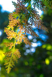 Άνοιξη argentea Selaginella Στοκ Φωτογραφίες