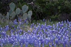Άνοιξη Bluebonnets του Τέξας Στοκ φωτογραφία με δικαίωμα ελεύθερης χρήσης