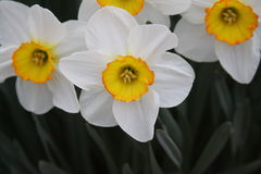 Άνοιξη daffodils Στοκ Φωτογραφίες