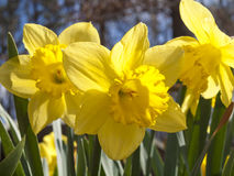 Άνοιξη daffodils Στοκ εικόνες με δικαίωμα ελεύθερης χρήσης
