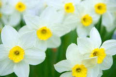 Άνοιξη daffodils Στοκ Εικόνες