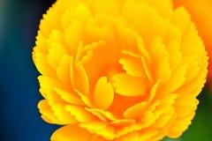 άνοιξη gerbera λουλουδιών Στοκ Εικόνες