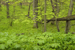 Άνοιξη midwest στο δάσος στοκ φωτογραφία με δικαίωμα ελεύθερης χρήσης