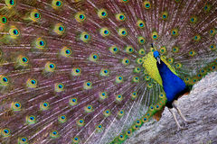 Άνοιξη Peacock Στοκ φωτογραφία με δικαίωμα ελεύθερης χρήσης