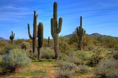 άνοιξη saguaro κάκτων Στοκ φωτογραφία με δικαίωμα ελεύθερης χρήσης
