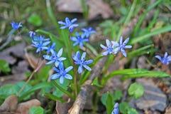 Άνοιξη Scilla με τα μπλε λουλούδια και τους οφθαλμούς στοκ φωτογραφίες με δικαίωμα ελεύθερης χρήσης