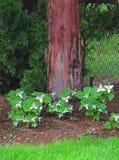 Άνοιξη Trilliums στοκ φωτογραφία
