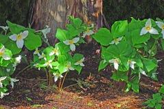 Άνοιξη Trilliums στοκ εικόνες με δικαίωμα ελεύθερης χρήσης