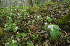 Άνοιξη, Wildflowers, ίχνος φύσης μηχανών, GSMNP, TN Στοκ φωτογραφίες με δικαίωμα ελεύθερης χρήσης