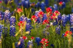 Άνοιξη Wildflowers στο Τέξας Στοκ Εικόνες