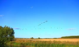 Άποψη Фutumn του κοπαδιού των πουλιών στο μπλε ουρανό Στοκ Εικόνες